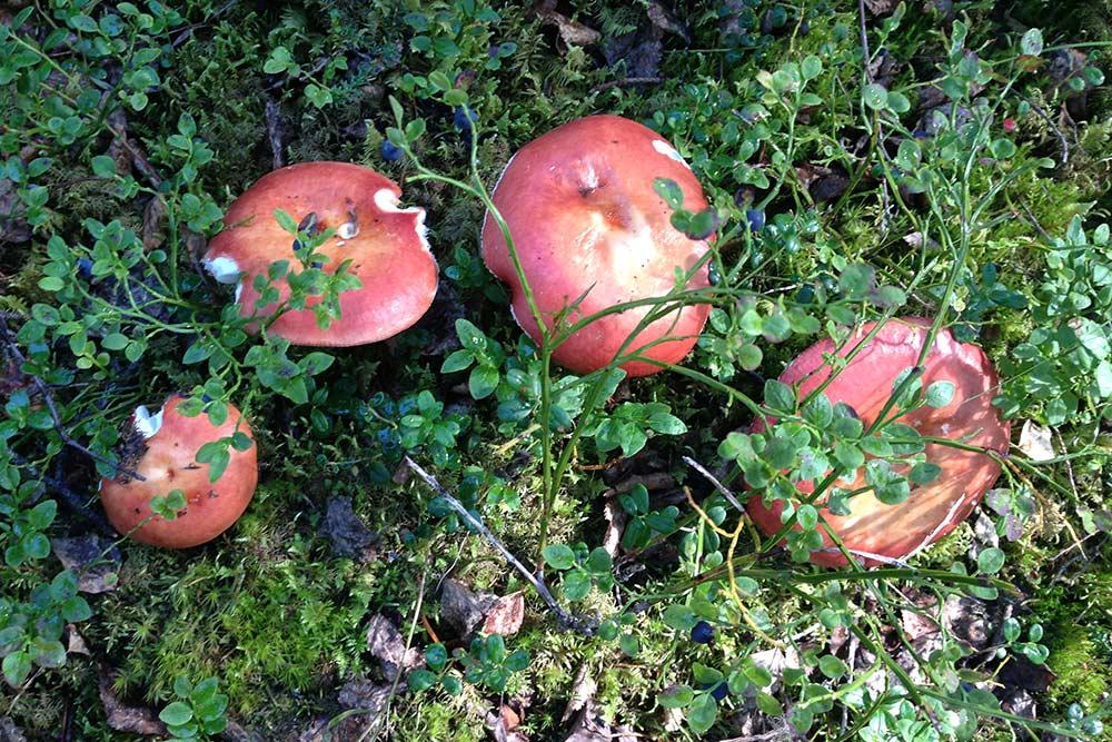 В Коми растет около 800 видов грибов. На фото — сыроежки. Их действительно можно есть сырыми, главное — снять красную пленку со шляпки