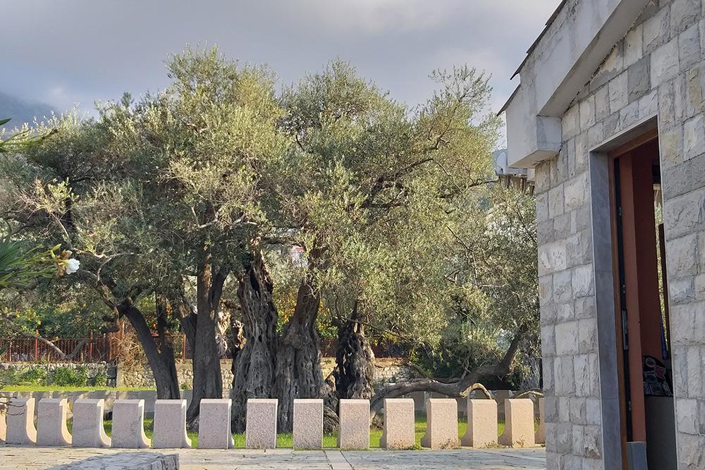 Этой оливе больше двух тысяч лет