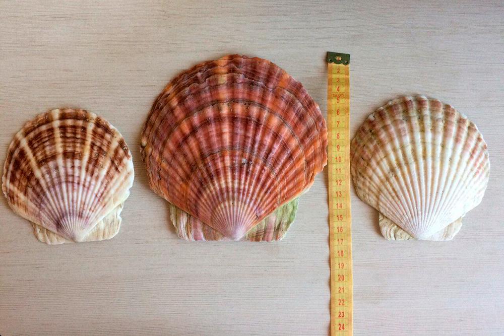 Гигантские ракушки — отличный сувенир с Сахалина. Их можно найти практически на любом пляже. Самые большие — размером с тарелку