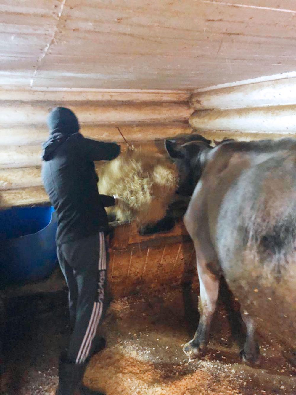 Животные на ферме находятся натравяном откорме. Зимой коровы восновном питаются сеном, скошенным наокрестных лугах