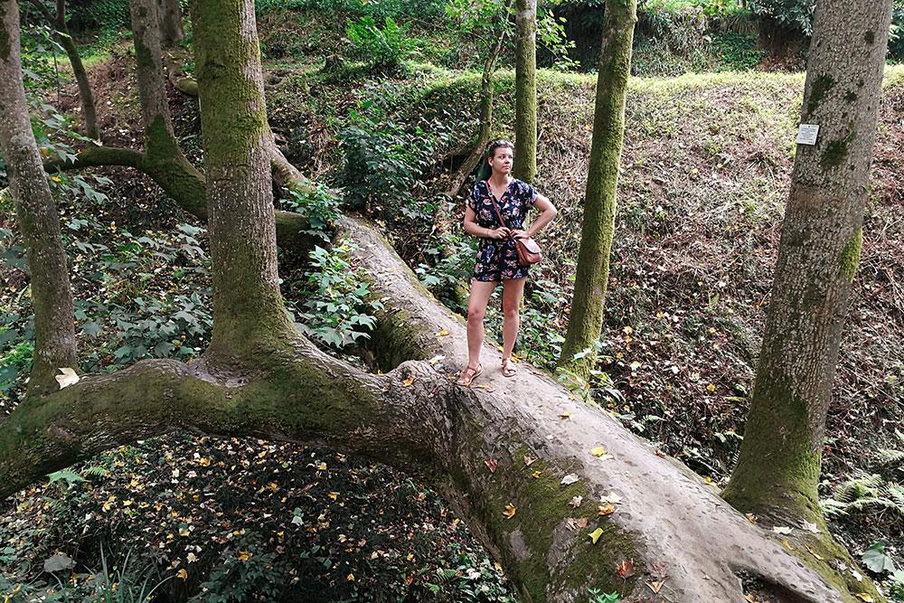 Дерево-мост в Батумском ботсаду. Некоторым деревьям тысячи лет
