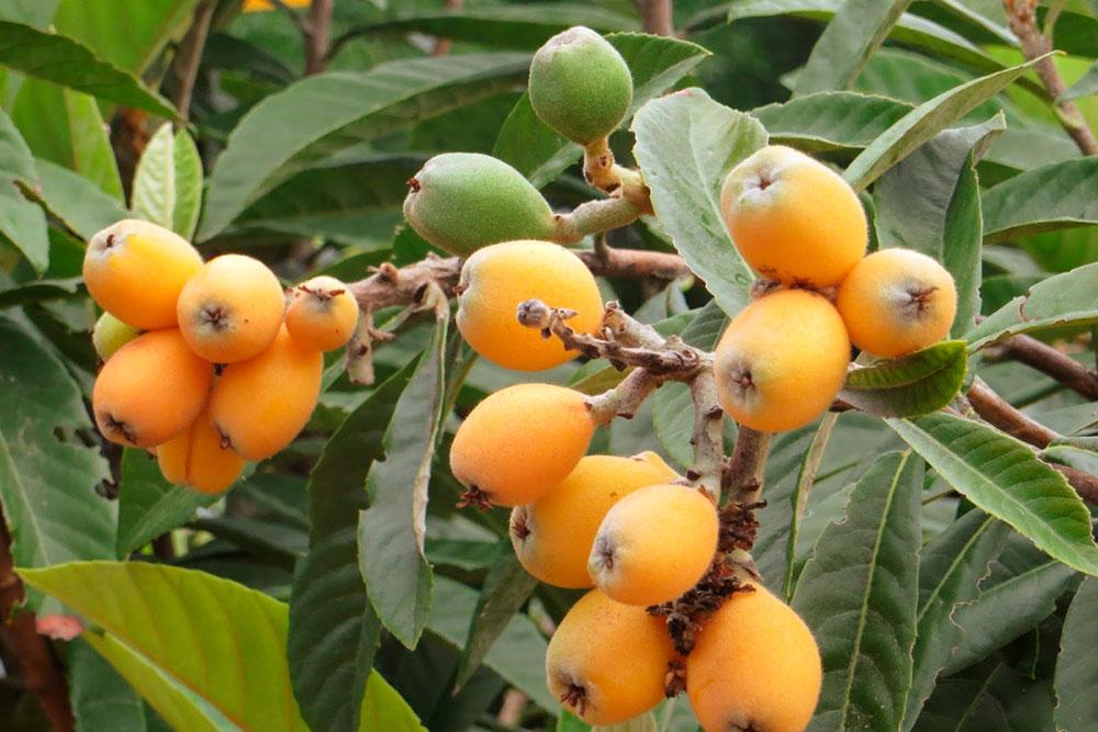 Плоды мушмулы похожи на абрикосы. Если будет возможность, обязательно попробуйте