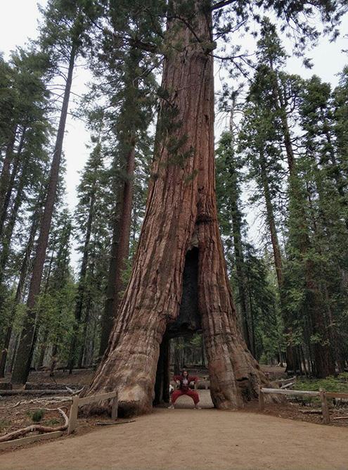 Дерево-тоннель California Tunnel Tree. Встала в любимую позу на фоне дерева, чтобы была видна его мощь