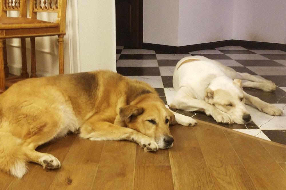 Собаки — породистая и дворняга