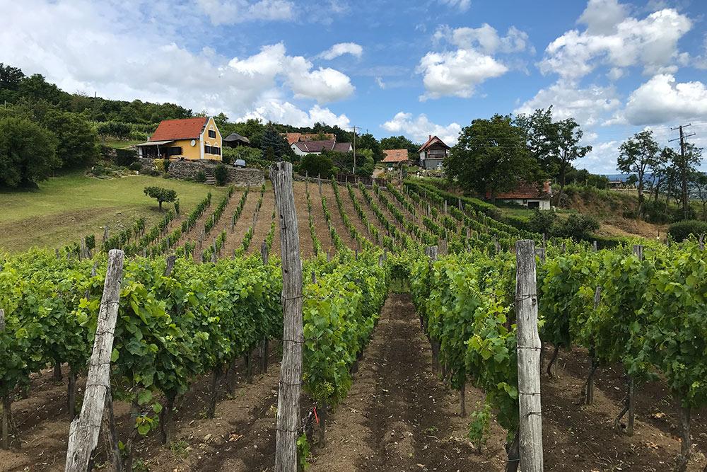 Виноградники невсегда принадлежат винодельням. Огородов здесь нет, авот выращивать виноград — обычное дело дляжителей местных деревень