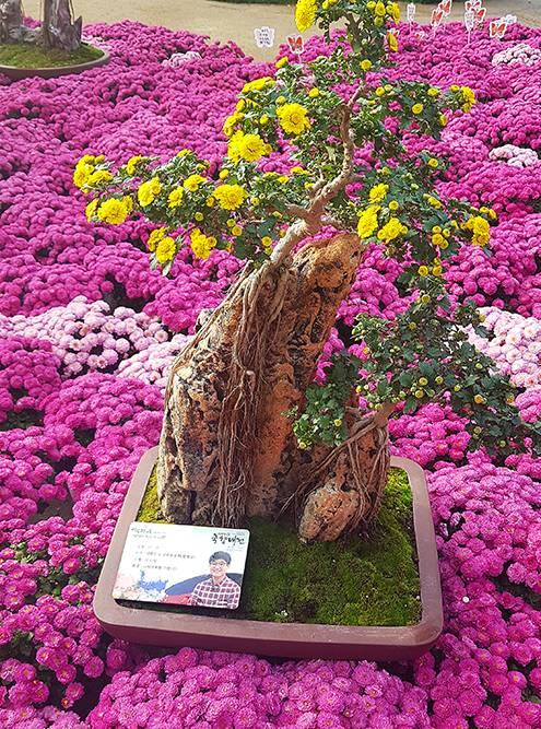 Цветущий бонсай растет прямо на камне, словно настоящее большое дерево где-то в горах