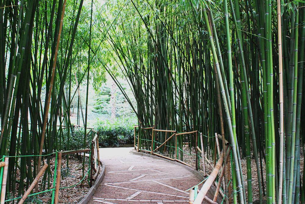 Бамбуковая роща в Никитском ботсаду