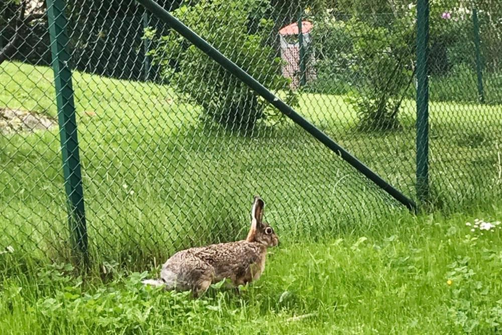 В Гетеборге настолько хорошая экология, что даже зайцы не боятся бегать по городу. Этого я встретила прямо во дворе дома