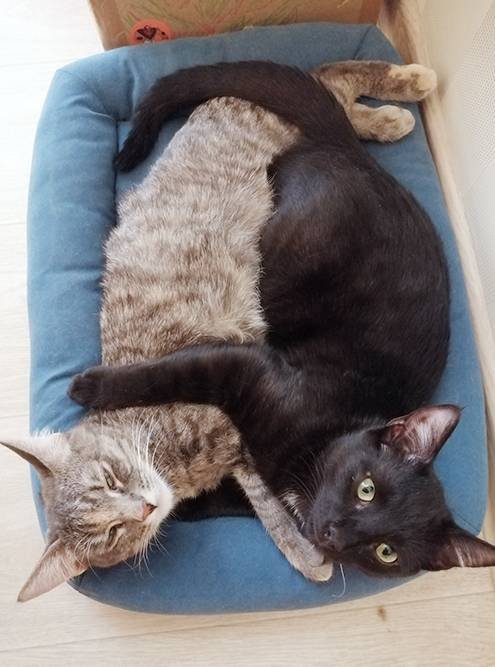 Из восьми спасенных мною котят двое остались жить у меня. Это Кеса — слева и Кекс — справа