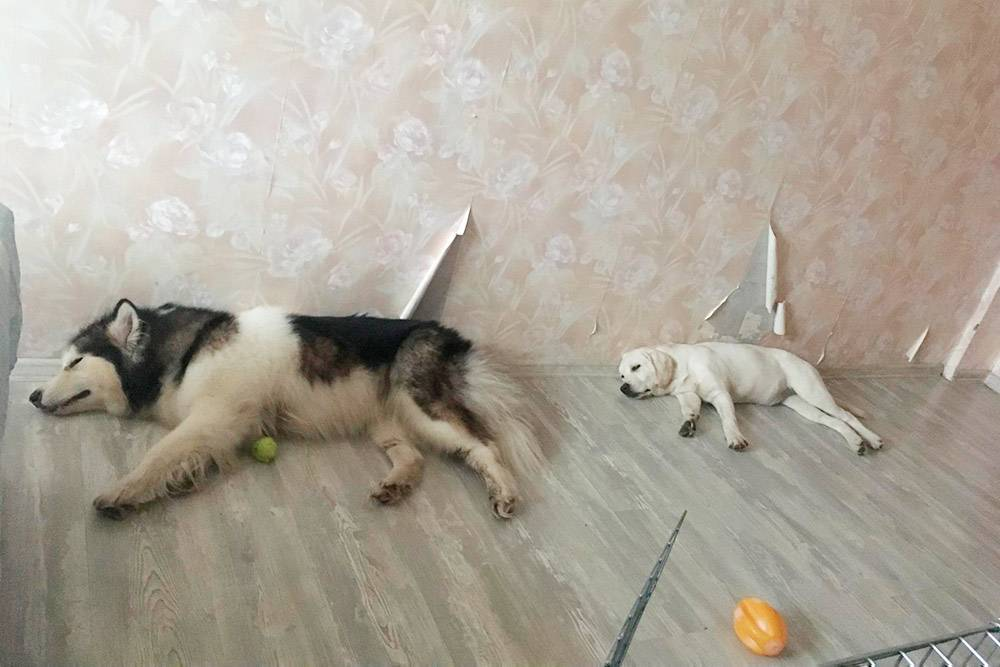 Собаки хорошо ладили друг с другом, им было весело гоняться по лесу одна за другой и спать в одних позах дома