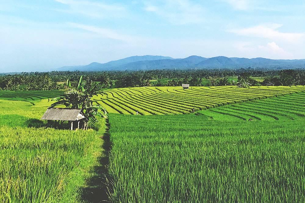 Такие рисовые террасы еще сохранились в Чангу. Чтобы найти их, надо немного отъехать от кафе и магазинов вдоль дорог