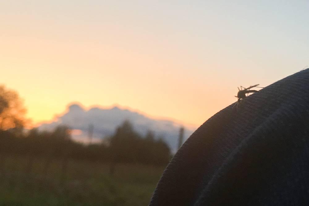 Этот комар так неторопливо решал, какбы поудобней укусить мою коленку через джинсы, чтоя успела понаблюдать за ним, сфотографировать и потом убить