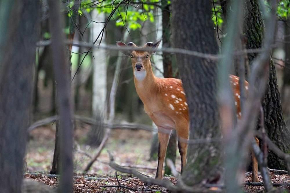 Я зря боялась, что мы будем долго ездить и не увидим животных. Обитателей в парке довольно много, а егеря знают места, где они любят отдыхать и пастись. Источник: парк «Олений»