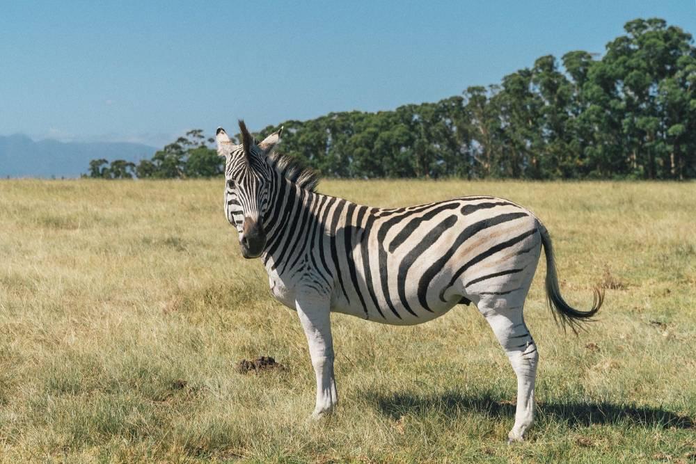 К зебрам близко не подпускают: они могут лягнуть