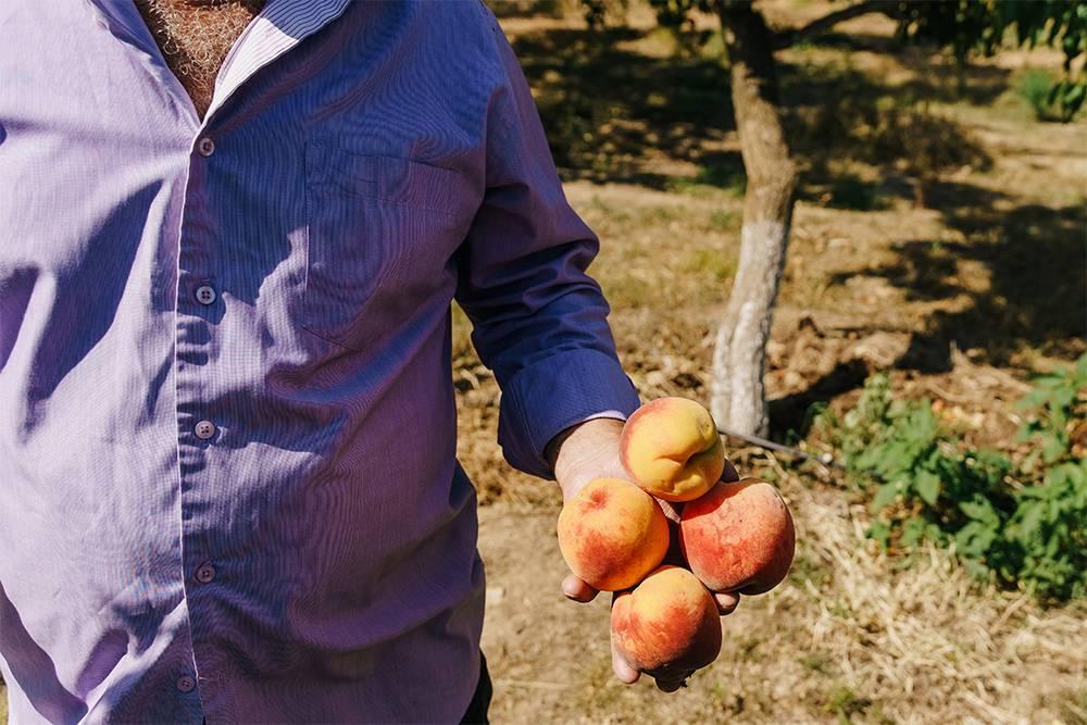 Персики с дерева — твердые, но спелые