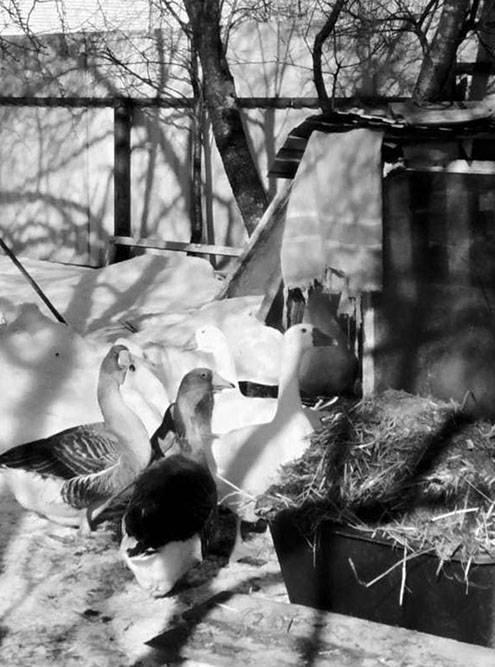 Когда хожу мимо гусей, белый несколько раз пытается меня ущипнуть. Мне и страшно, и смешно
