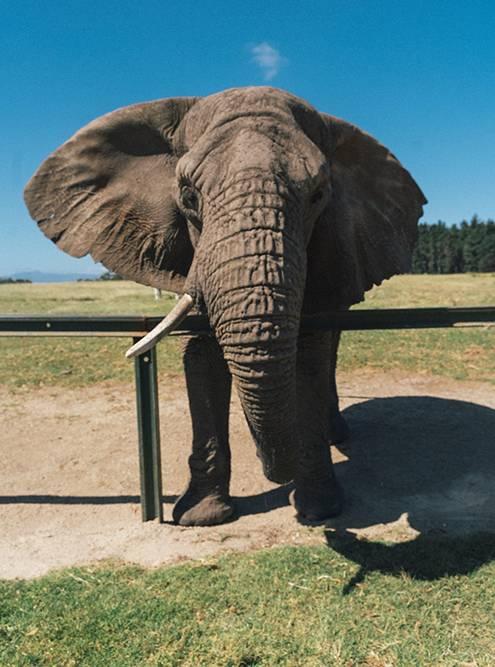Эта слониха — самая взрослая в приюте. Ее зовут Салли, и она старше меня