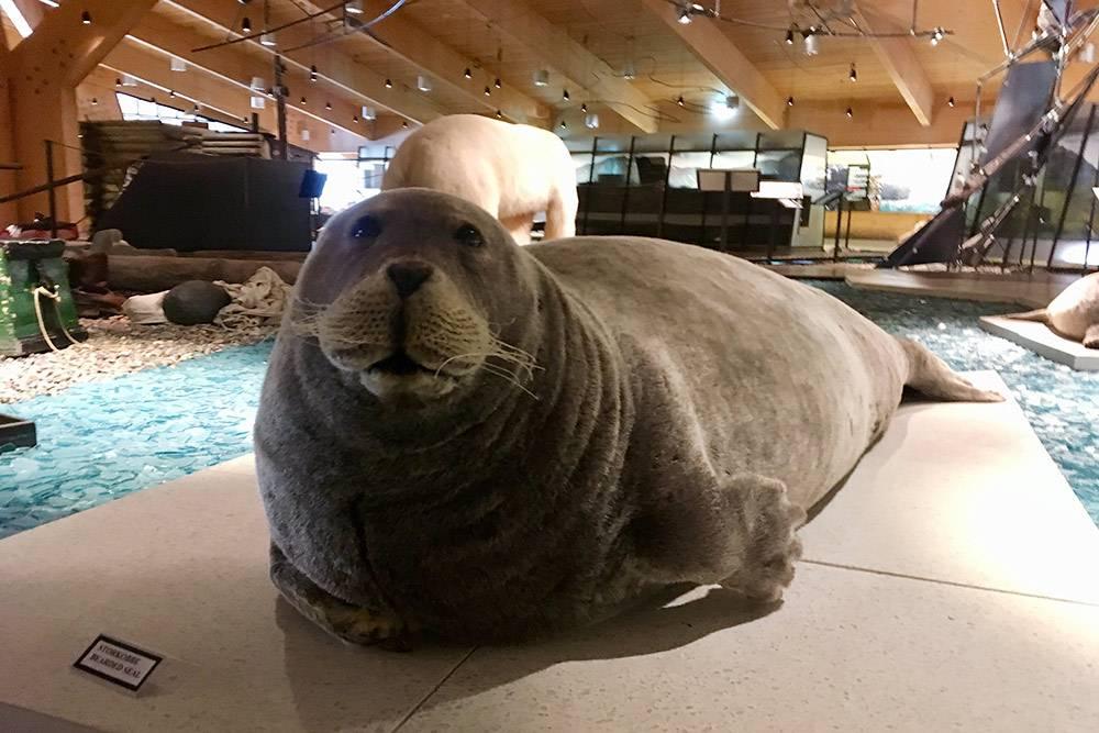Взрослый тюлень, обитающий на Шпицбергене. Их тоже непросто встретить за пределами музея