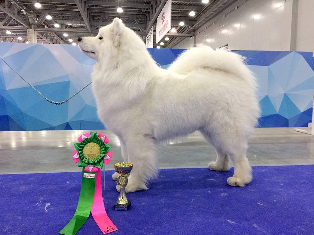 Розеточка и кубок — это красиво, но главный трофей выставки — титул. Чем их больше, тем ценнее собака как представитель породы, а значит, дороже ее щенки