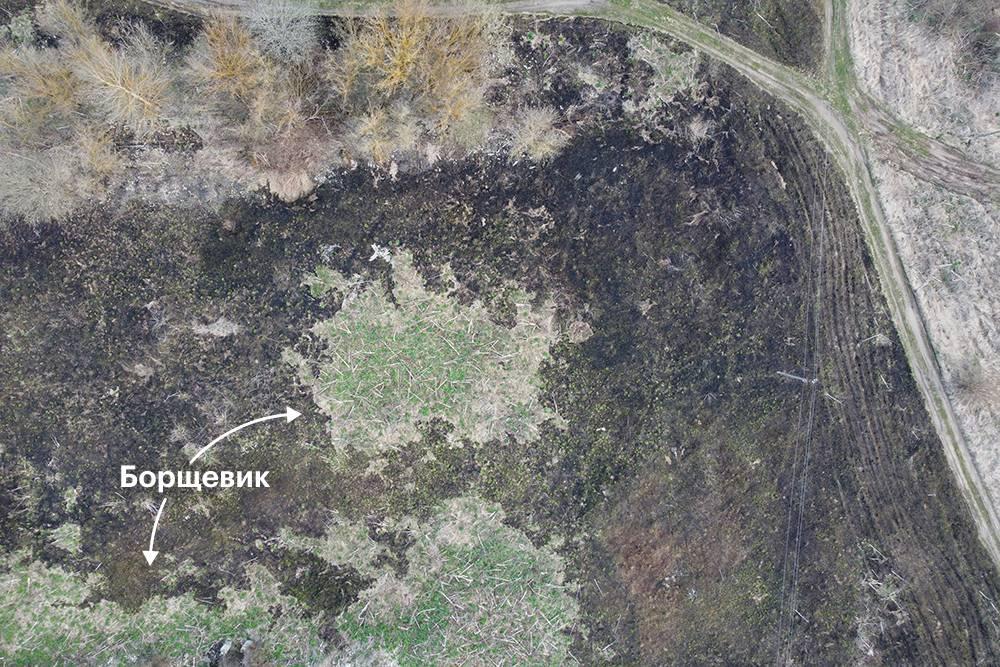 Это фото (вид сверху) сделано после травяного пожара. Обычная трава сгорела, а борщевик бодро зеленеет