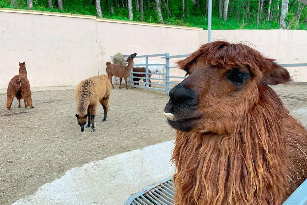 На фото — дружелюбная лама, писающая лама и несколько обычных лам