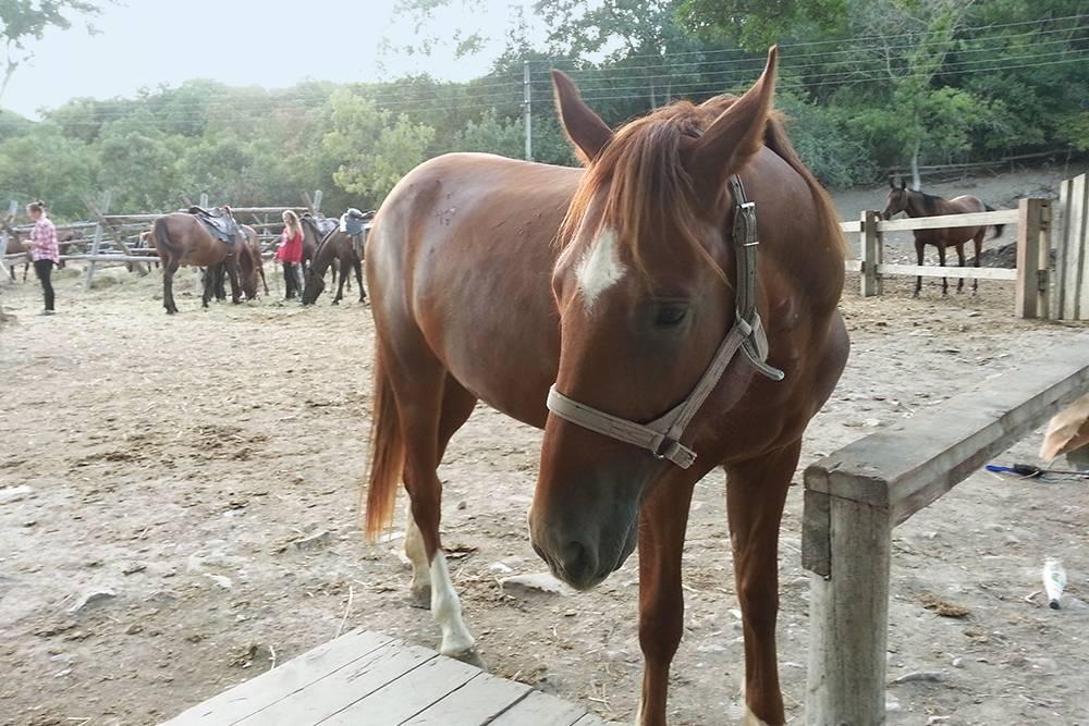 Лошадь, которая только что вернулась с долгой прогулки. Следующую поездку она пропустит: будет отдыхать