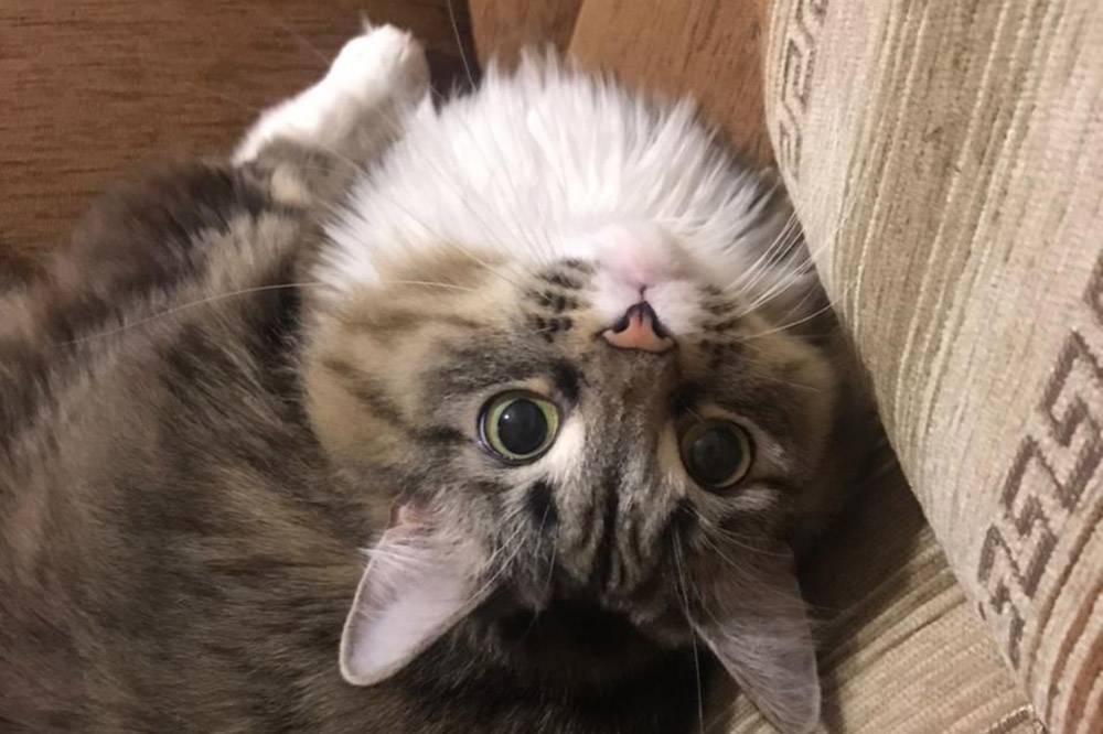 Наша кошка Анфиса. Я уговорила маму подобрать ее два года назад. Взять ее себе я не могла, потомучто у М. аллергия