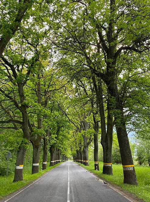 В Калининградской области красивые дороги: вдоль них стройным рядом высадили деревья