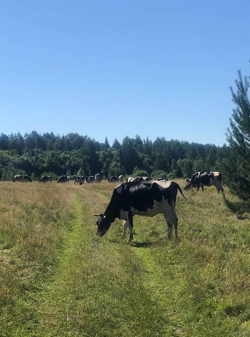 В дороге были любопытные встречи. Например, сразу после старта я выехал в поле, на котором паслось стадо коров