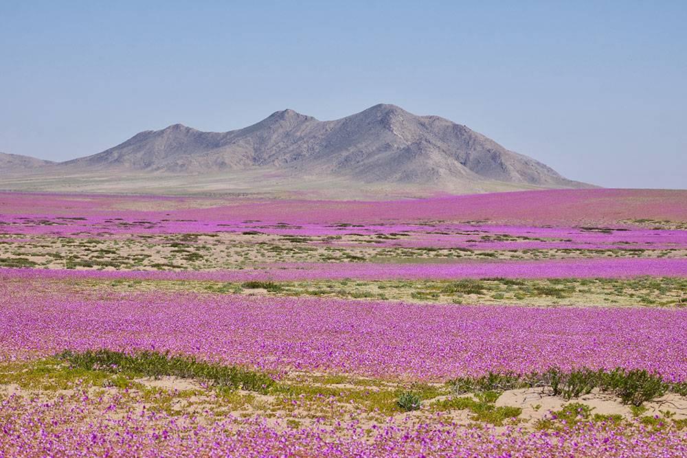 Цветение Атакамы весной. Источник: Cesar Gonzalez Palomo / Shutterstock