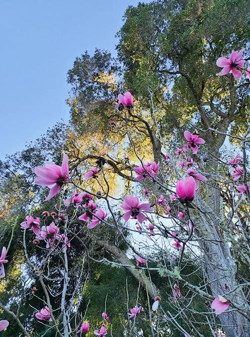 Цветущие магнолии прекрасны