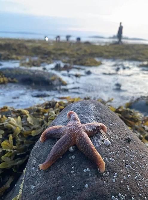 На Белом море я узнала, что милые морские звезды — хищники и пожирают мидий. Звезды раздвигают створки раковины лучами-щупальцами, вываливают внутрь желудок и переваривают моллюска