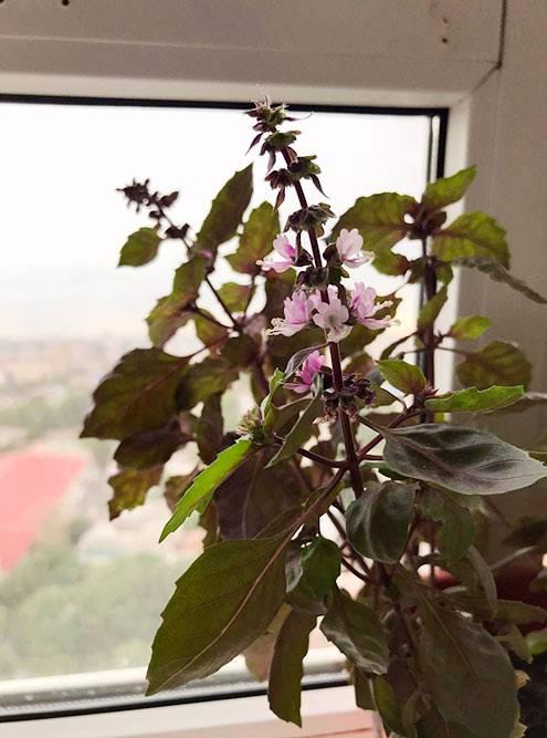 А базилик красиво цветет