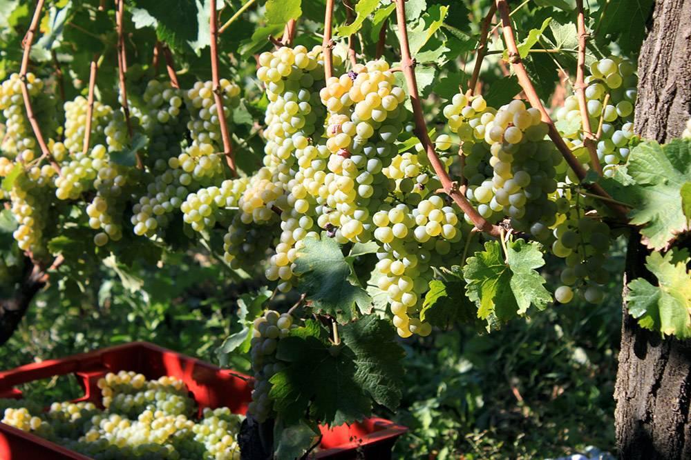 Мои знакомые жалуются, что после работы на винограднике у них болит спина. А дляменя сбор винограда — лучшая медитация, когда ни о чем не думаешь и полностью погружаешься в себя