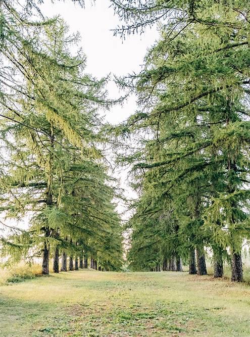 Старый хозяин усадьбы посадил две аллеи лиственниц длясвоей жены — всего 500штук. Источник: Анастасия Губинская