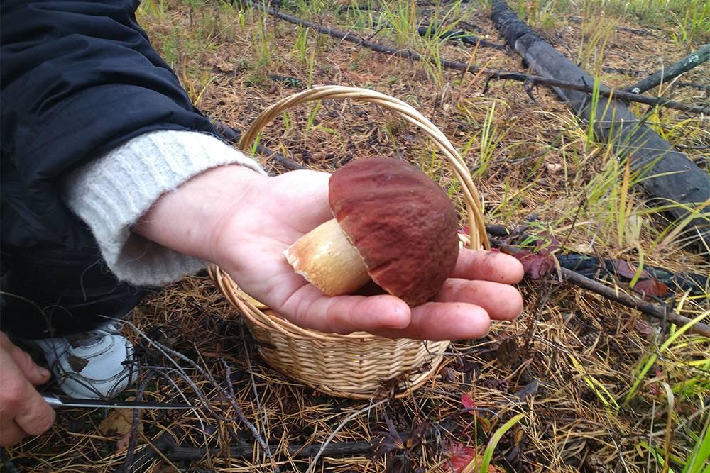 В грибах коренной сибиряк разбирается с детства. Пойти в лес за грибами — популярный способ провести выходные