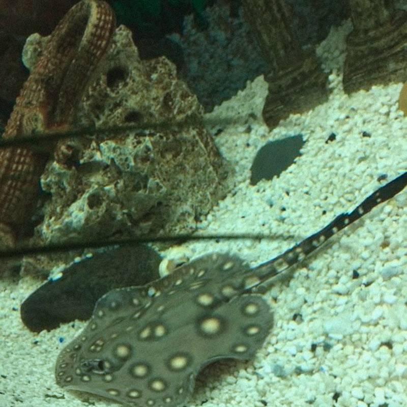 Первый раз вижу мини-ската в аквариуме