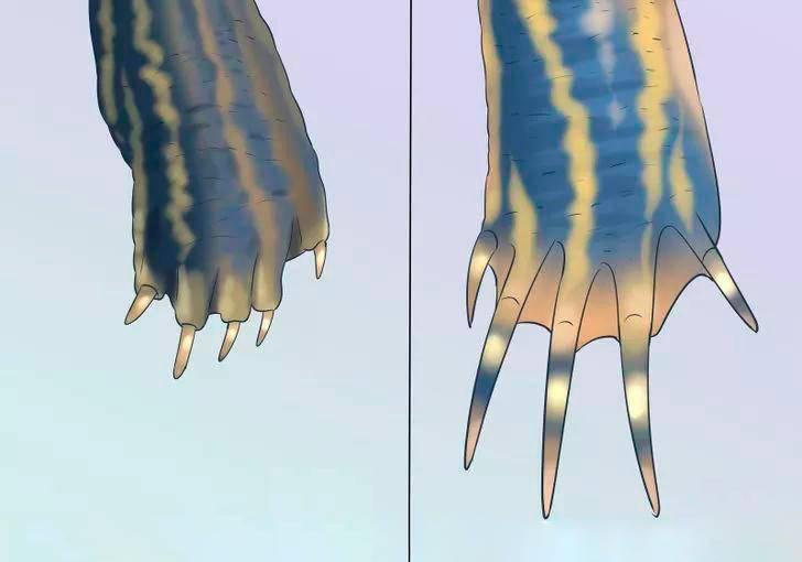 Слева самка, а справа самец. Самец от самки отличается длинными когтями. Источник: «Наш зеленый мир»