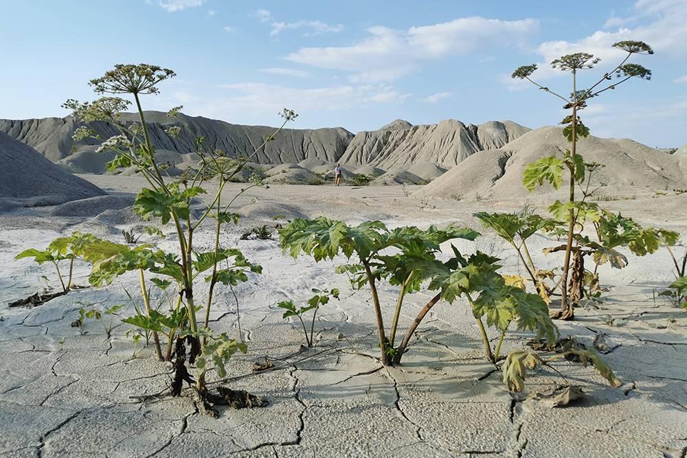 Это известняковый карьер в Псковской области. Никакие растения здесь не растут, а борщевик — вполне