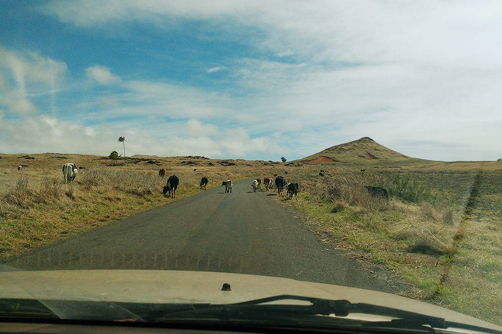Дороги хорошие, но сильно разгоняться не стоит: нередко на них выходит пасущийся скот