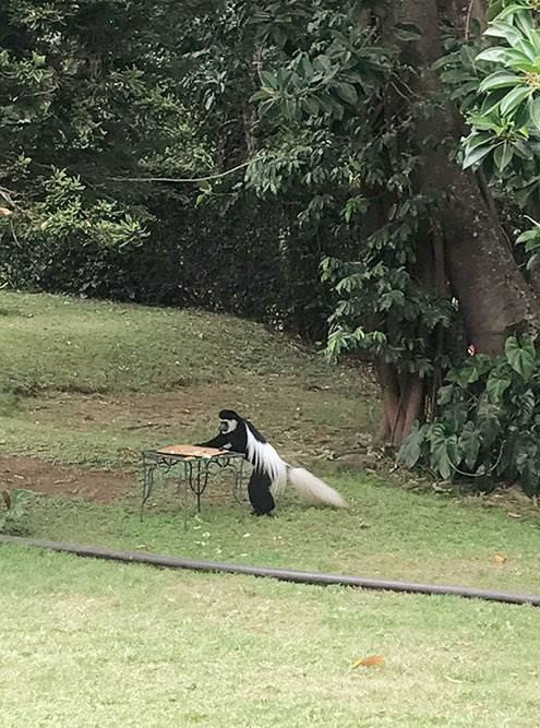 Еще один вид обезьян, которые жили рядом сотелем, — черно-белые колобусы