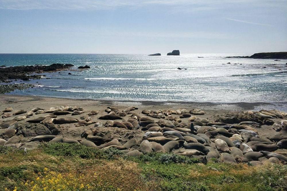 Морские львы спокойно лежат и греются на солнце, пока кто-то не переворачивается на другой бок, задевая соседа. После этого начинается ор и гам: животные ругаются
