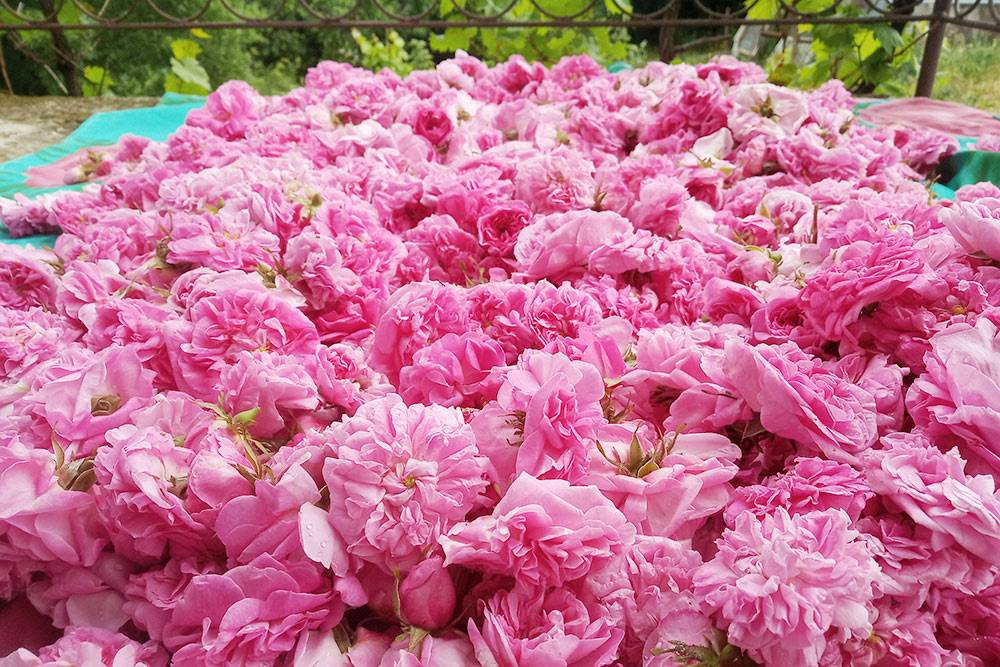 Урожай эфиромасличной розы
