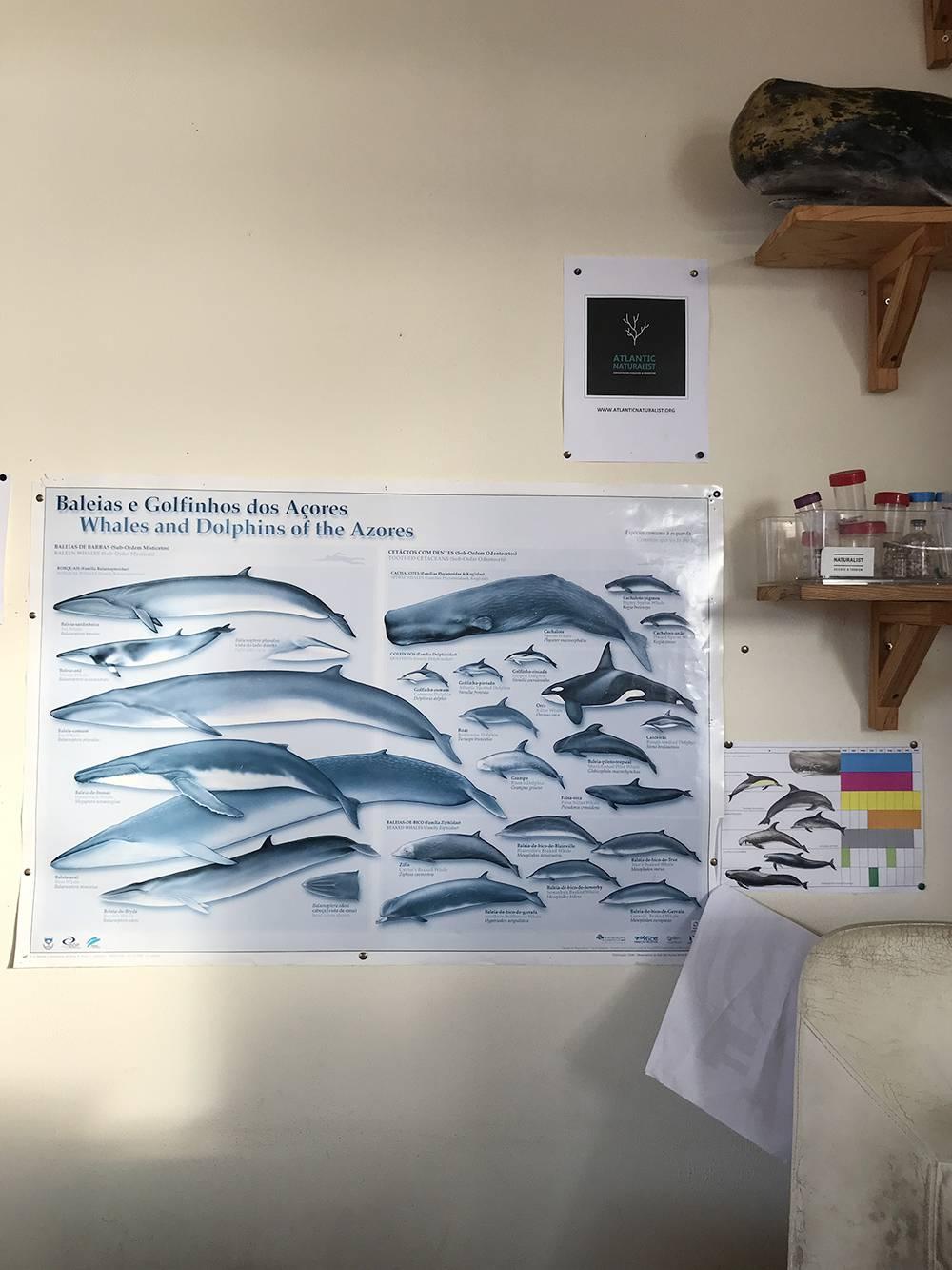 Виды китов на Азорах в офисе компании, где я заказывала прогулку