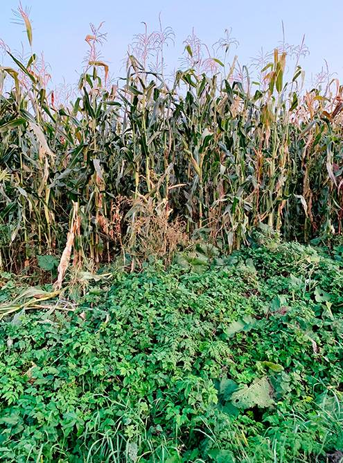 Прошли сквозь кукурузное поле