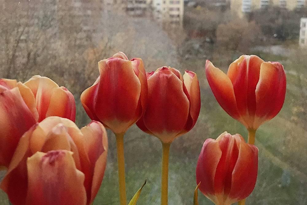 Тюльпаны, которые Д. подарил вчера вечером
