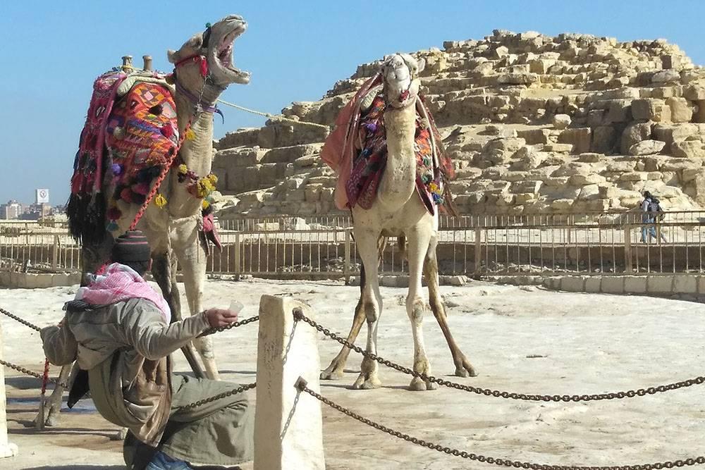 Туристический аттракцион у пирамид Гизы: залезаешь на верблюда бесплатно, а за спуск платишь деньги