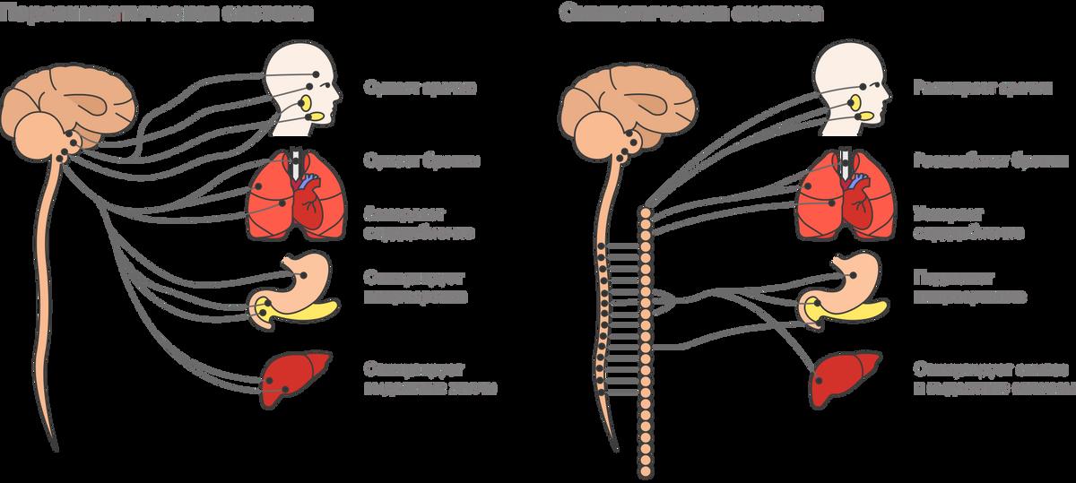 Парасимпатическая нервная система помогает нам расслабиться, а симпатическая нас мобилизует