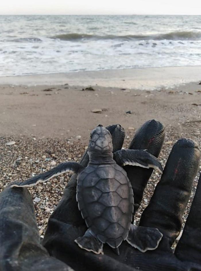 Это черепашка каретта-каретта — таких волонтеры спасали на проекте. Во время сбора мусора на пляже недалеко от города Мерсин волонтер Павел Синицин случайно нашел черепашку: она выбралась из гнезда днем, а не ночью, как обычно. После волонтер отпустил ее в море