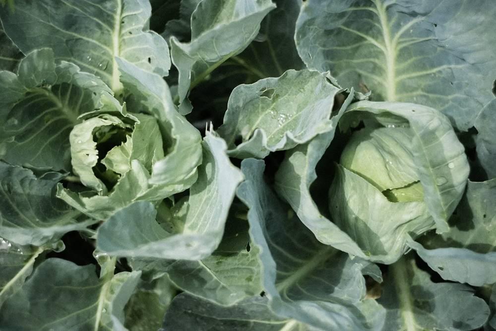 Урожай капусты с нашей грядки